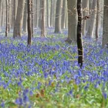 La foresta incantata di Hallerbos, Belgio